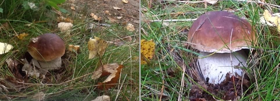borowik-prawdziwek-grzyby